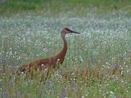 sandhill crane spiritual meaning the best crane 2017