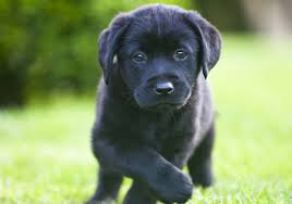 7 reasons labrador retriever popular american kennel club