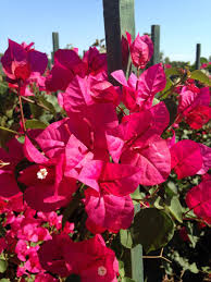 bougainvillea u0027oh my my u0027 evergreen nursery