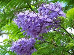 tree with purple flowers purple blue flowering trees a gallery on flickr