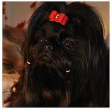 yarrow affenpinscher 43 best my shih tzu dog images on pinterest shih tzus animals