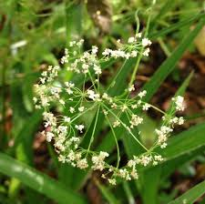 plants native to scotland wild scottish and free u0027s guide to summer foraging in scotland