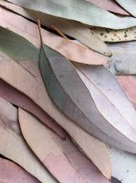 best 25 eucalyptus leaves ideas on pinterest eucalyptus wedding