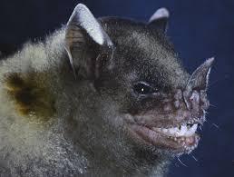 new leaf nosed bat uncovered amidst burning habitat in venezuela