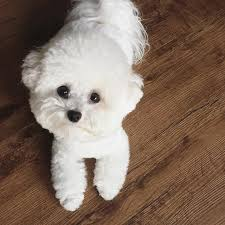 bichon frise instagram aju video eda the short fluffy bichon is one perfect capricorn