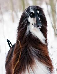 afghan hound king of dogs afghan hounds the spectacular world of dogs pinterest afghan