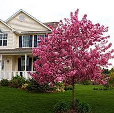 prarifire crabapple tree for sale fast growing trees