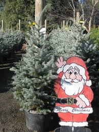 live christmas trees urban tree farm nursery