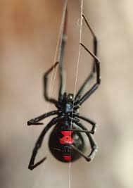 Black Widow Spiders Had A - get to know the black widow spider ask mr little