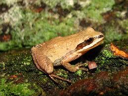 pa herp identification new jersey chorus frog