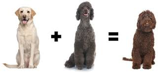afghan hound poodle cross eight poodle dog mixes you may not know about dogtime