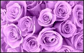 lavender roses lavender roses flowers nature background wallpapers on desktop