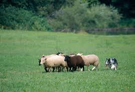 d b australian shepherds australian shepherd herding sheep in pasture kimballstock
