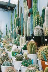 best 20 tall cactus ideas on pinterest cactus indoor cactus