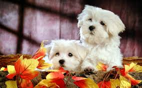 cute fall wallpaper hd puppy backgrounds group 68
