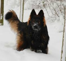 australian shepherd newfoundland the 17 best images about paws on pinterest the germans