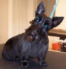 scottish yerrier haircuts mod dog boca grooming pictures