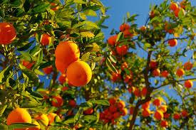 orange tree pictures images photos facts on orange trees
