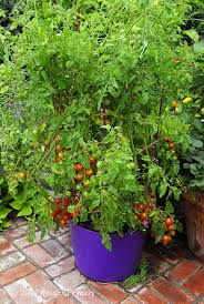 growing tomatoes and peppers edible landscaping with rosalind creasy