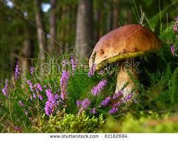 simply edible calluna vulgaris known common stock photo 61182694