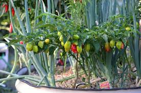 tips to grow vegetables in containers you should grow