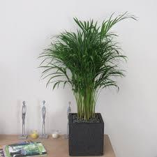 indoor palm areca palm tree beautiful 1m indoor plant complete u2013 bentleys