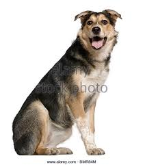 australian shepherd 6 monate fell dog stockfotos u0026 dog bilder alamy