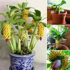 mini banana tree r 100pcs rare dwarf banana tree seeds mini bonsai garden plant