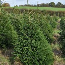 real christmas trees for sale real christmas trees for sale near me fishwolfeboro