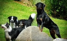 belgian shepherd or border collie onyx