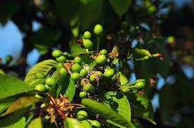 Cherry Tree Fruit - free photo fruit cherry tree unripe green unripe cherries max pixel