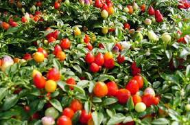 indiana state grounds maintenance ornamental peppers