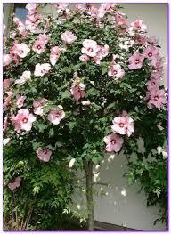 71 besten flowering ornamental trees bilder auf