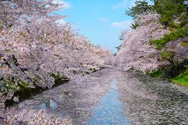 when to see japan u0027s cherry blossom trees in full bloom
