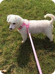 bichon frise dogs for adoption freedom pa bichon frise meet charlotte a dog for adoption