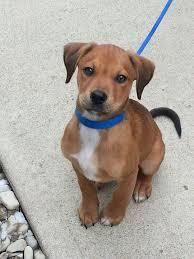 beagle x australian shepherd best 25 boxer lab mixes ideas on pinterest pitbull boxer mix