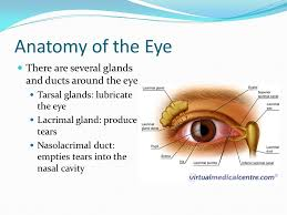 Eye Anatomy And Physiology Anatomy And Physiology 2 The Special Senses Smell Taste Sight