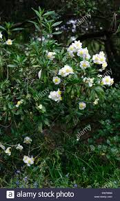 trees with white flowers carpenteria californica bush anemone white flowers flowering