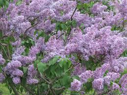 Flowering Trees Gardening Tips For The Santa Cruz Mountains Page 4