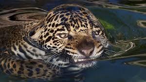 jaguar ww wild cats jaguar ngsversion 1477046579941 adapt 1900 1 jpg