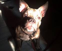 american pitbull terrier traits brindle pitbull 12 facts about the brindle pitbull brindle