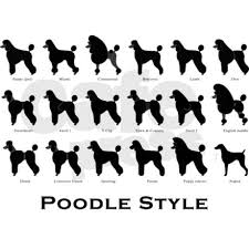 different styles of hair cuts for poodles unique hair cuts poodle forum standard poodle toy poodle