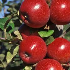apple tree available from www ornamental trees co uk