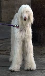 afghan hound in clothes sweet victory dog afghan hound cute pinterest discover best