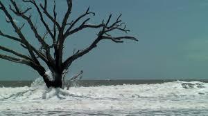 dead oak tree standing in the sea botany bay sc stock