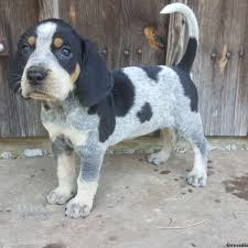 bluetick coonhound in michigan puppies for sale in pa find your perfect puppy at greenfield puppies