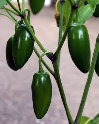 Green Chilli Plant Diseases - jalapeno pepper plant growing and caring for jalapeno peppers