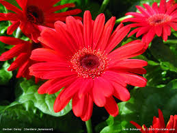 gerbera colors gerbera jamesonii800b jpg