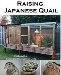 Backyard Quail Pens And Quail Housing by Raising Japanese Quail Self Sufficiency Pinterest Quails
