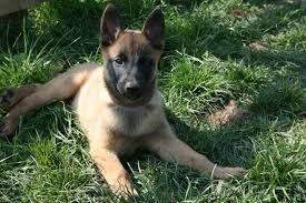 belgian shepherd 2 months belgian malinois stourbridge west midlands pets4homes